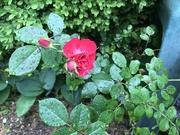 1st May 2020 - Raindrops on Roses