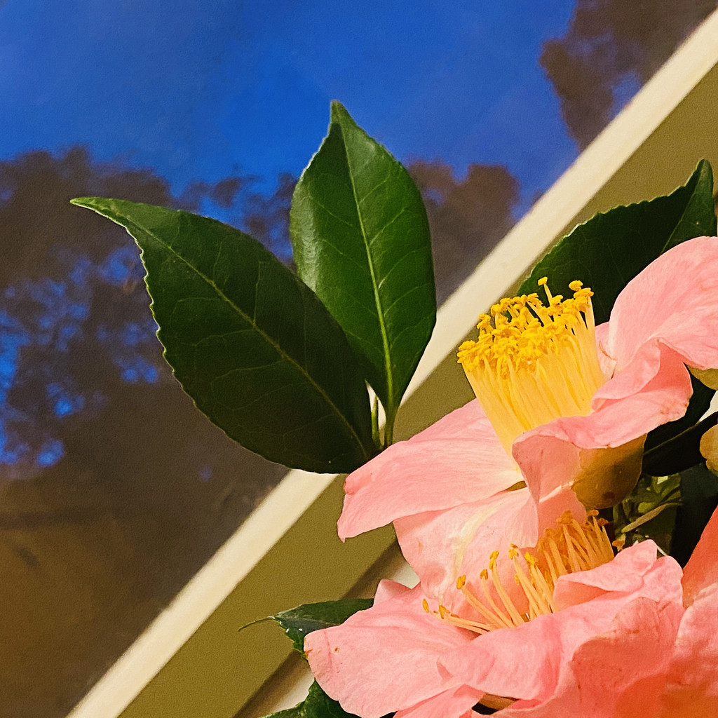 First Camellias by ethelperry