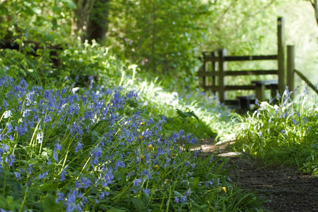Walking the Bluebells by ruthmouch