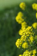 1st May 2020 - Wild mustard