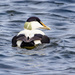 Eider by lifeat60degrees
