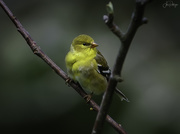 1st May 2020 - Female American Goldfinch