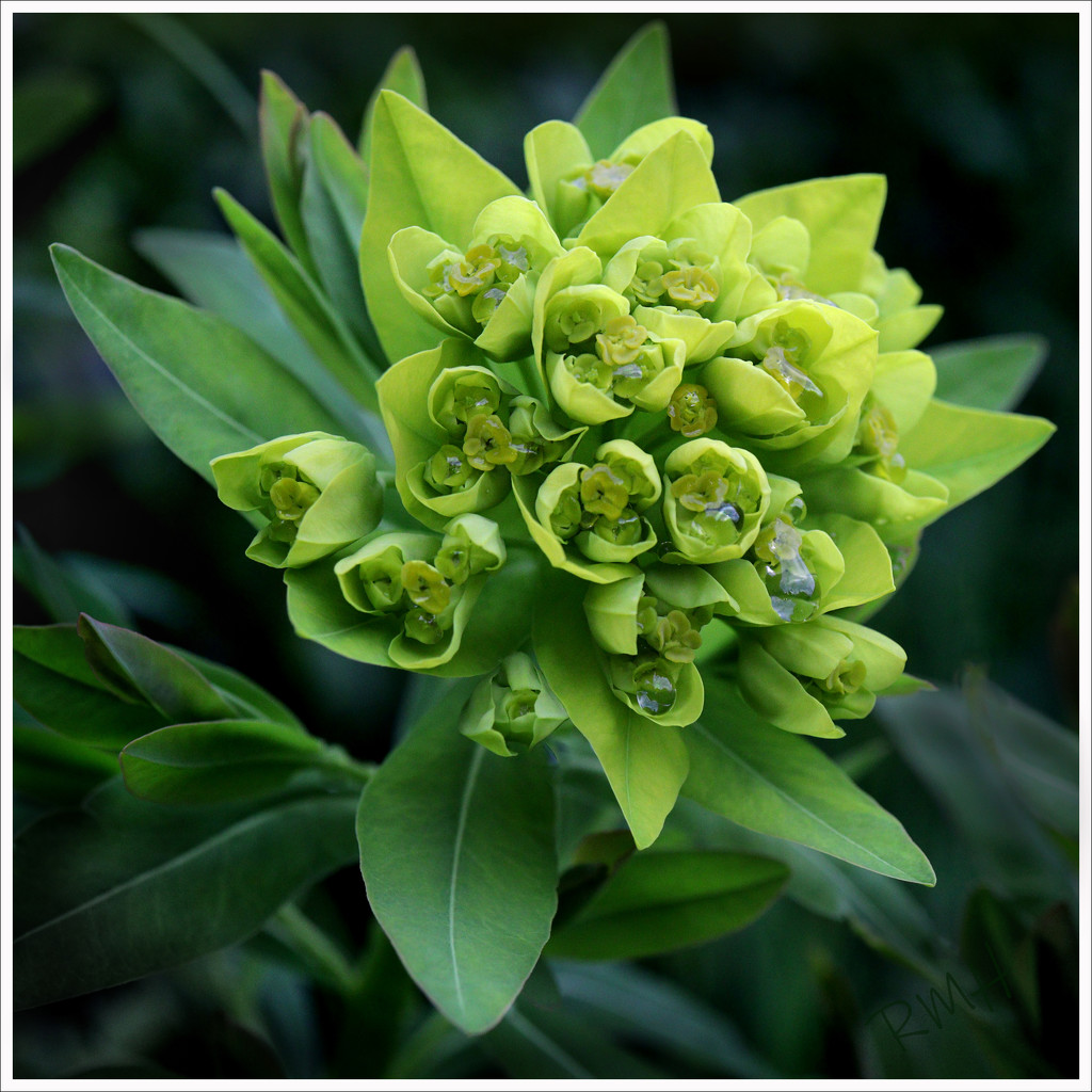 Euphorbia palustris  by ruthhill75