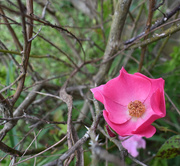 1st May 2020 - Rose Among the Thorns