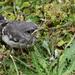 Baby Mockingbird by homeschoolmom