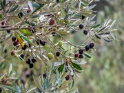 2nd May 2020 - Olive trees