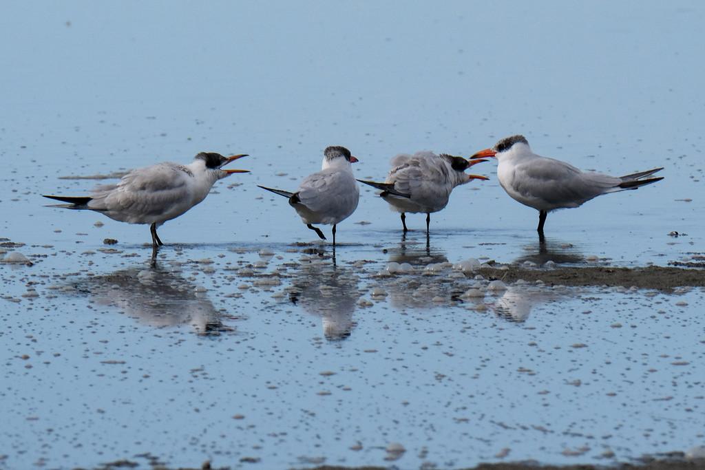 No social distancing among Caspian terns by maureenpp