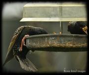 1st May 2020 - Greedy starlings