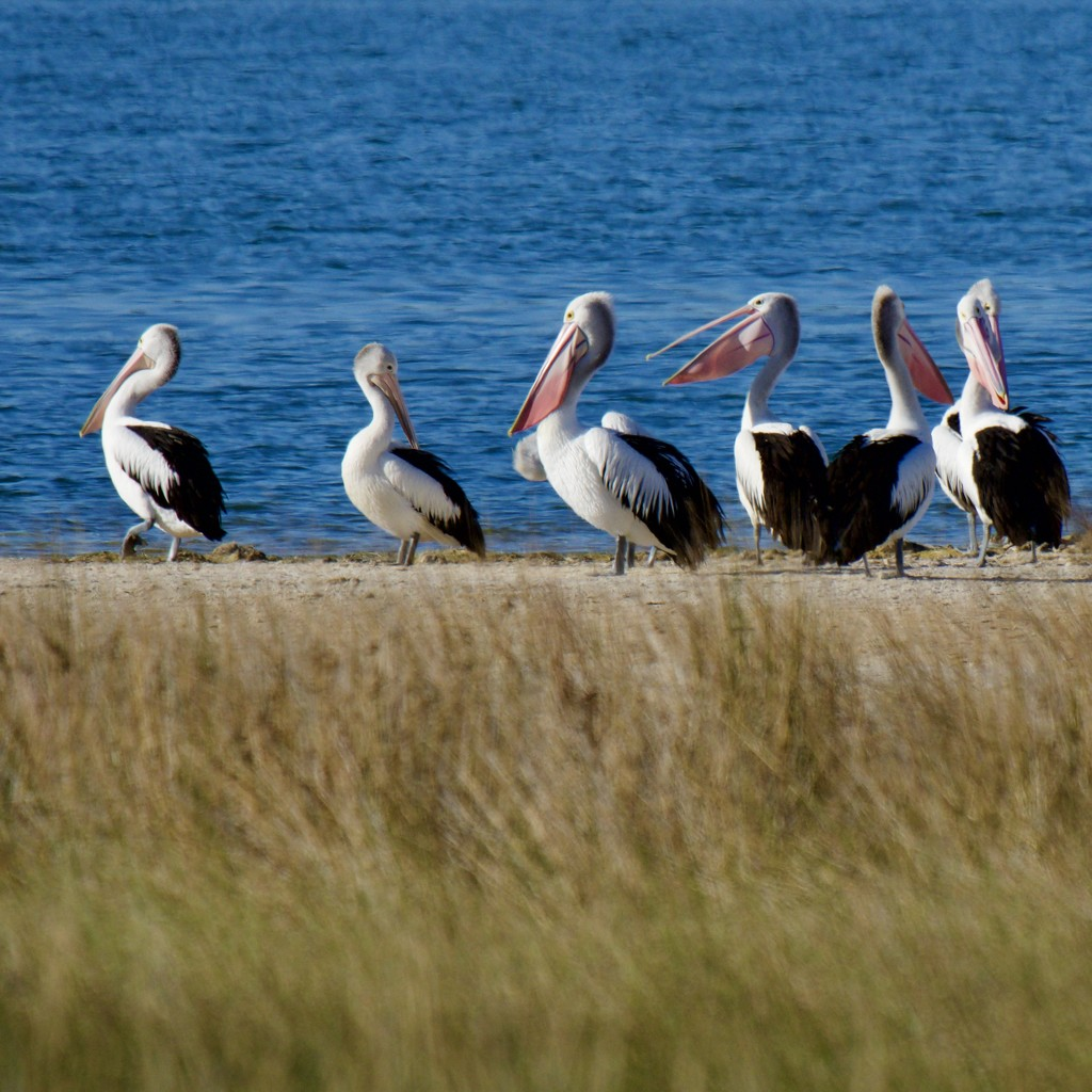 Social Distancing Doesn't Apply To Pelicans P5020434 by merrelyn