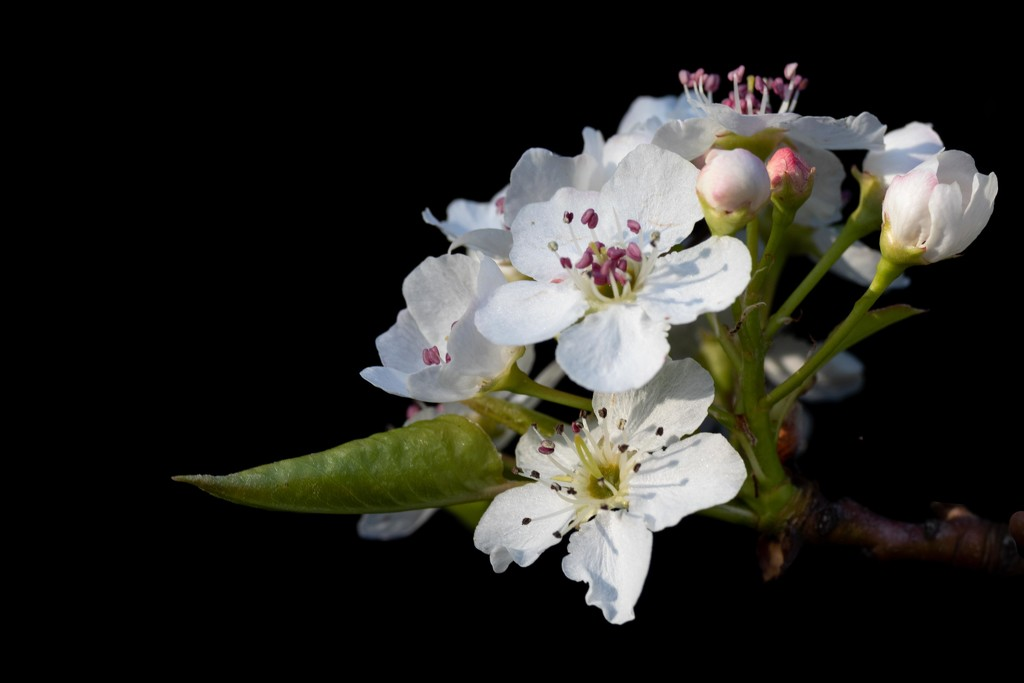 Pear Blossoms, Channeling Jerome by jyokota