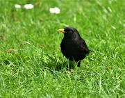 2nd May 2020 - Bobbie Blackbird