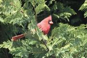 2nd May 2020 - Caught a Cardinal!