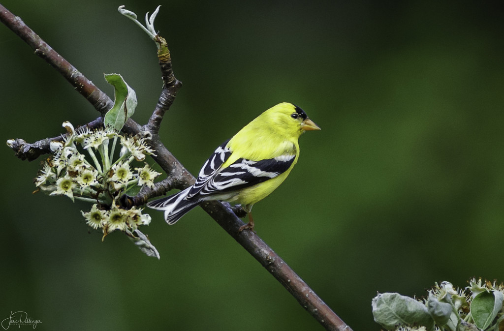 American Goldfinch  by jgpittenger
