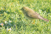 2nd May 2020 - Willow Warbler?