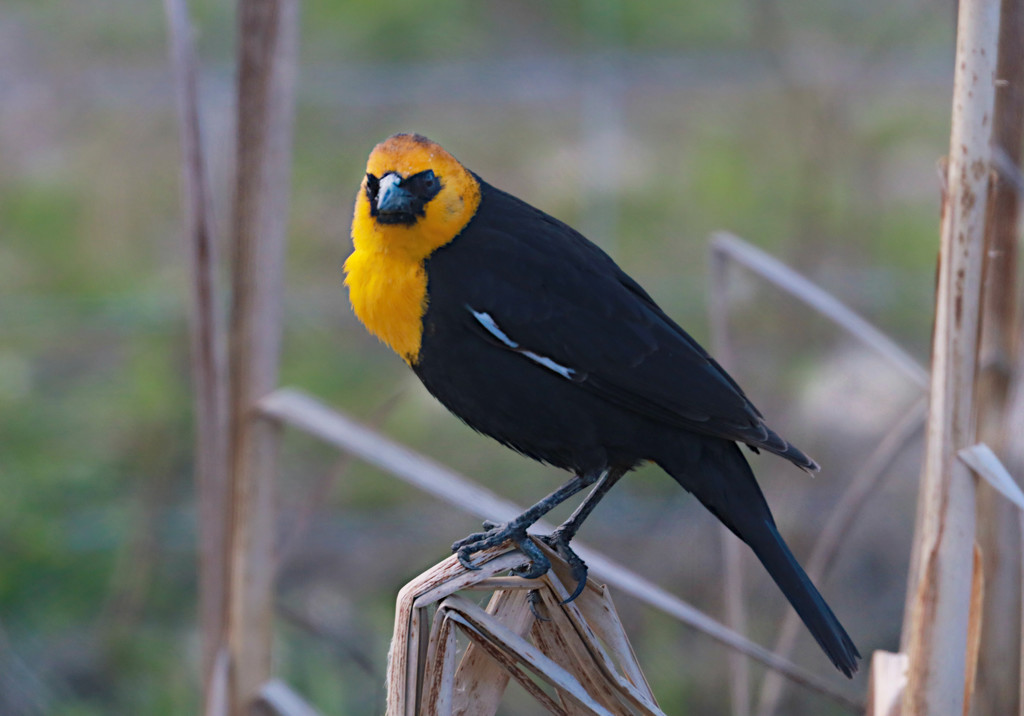 Yellow Headed Blackbird by gq
