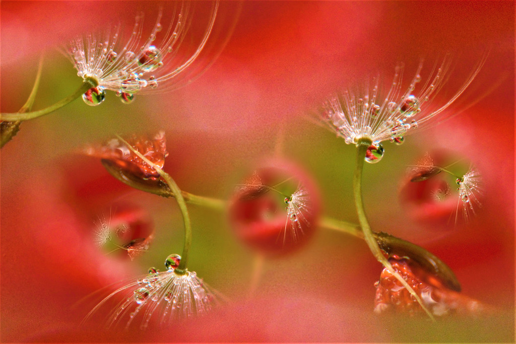 Dandy Refractions and seeds....... by ziggy77