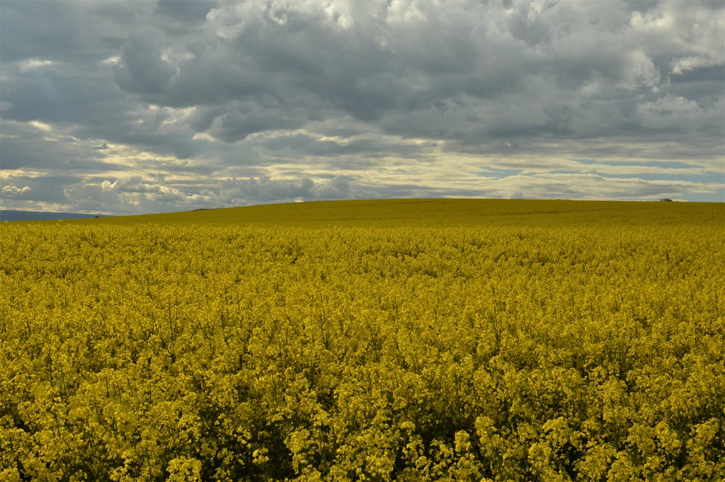 Sea of yellow by gemmabrowne