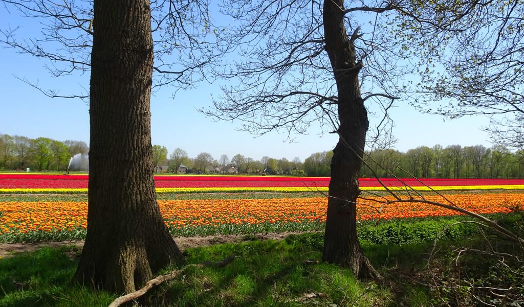 more tulip fields by gijsje