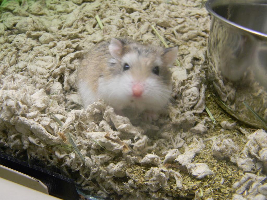 Dwarf Hamster at PetSmart  by sfeldphotos