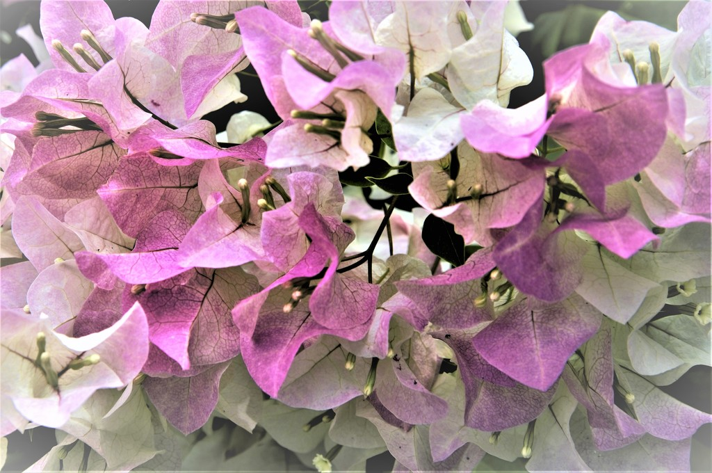 Pink and White Bougainvillea by chejja