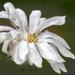 Starburst Magnolia Flower by pdulis