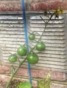 2nd May 2020 - Green Tomatoes
