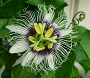 3rd May 2020 - Passion Flower