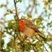 Just love a robin pic! by lyndamcg