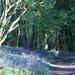 dog walking - bluebell woods
