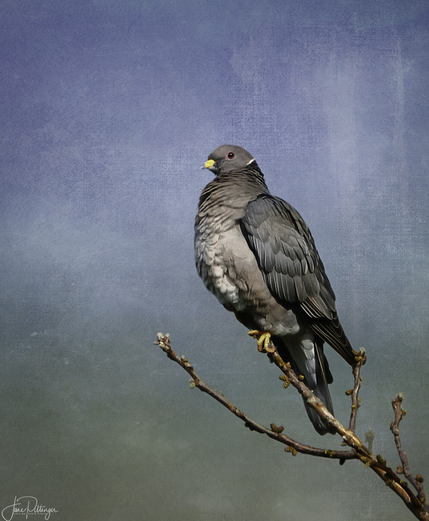 Banded Pigeon  by jgpittenger