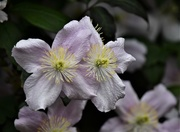 3rd May 2020 - Clematis