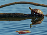 3rd May 2020 - painted turtle closeup