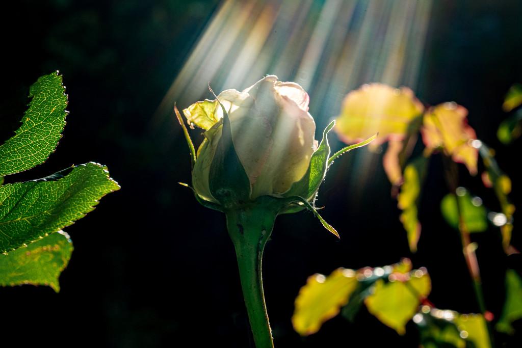 Rosebud by vignouse