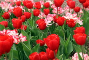 3rd May 2020 - Red Tulips And Friends