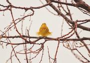 2nd May 2020 - warbler
