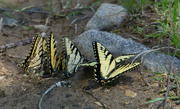 3rd May 2020 - Swallowtails
