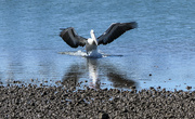 3rd May 2020 - Pelican coming in to land