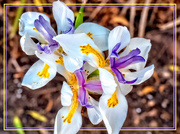 4th May 2020 - Indigenous Iris