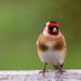 Goldfinch by yorkshirekiwi
