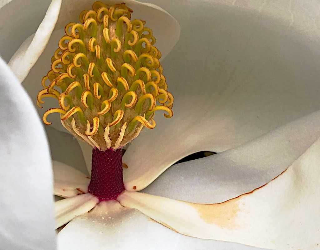 Magnolia bloom  by congaree
