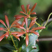 Young pieris leaves by mittens