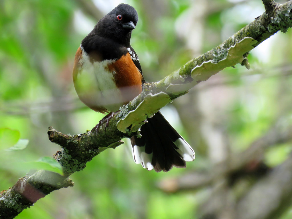 Spotted Towhee by seattlite