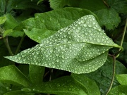 3rd May 2020 - Raindrops on a leaf