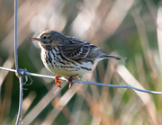 4th May 2020 - Meadow Pipit