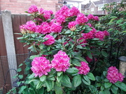5th May 2020 - Rhododendron
