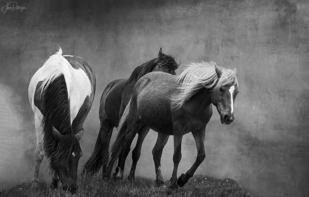 Assateague Horses B and W by jgpittenger