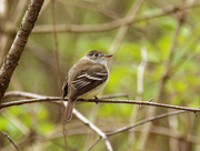 4th May 2020 - Least flycatcher