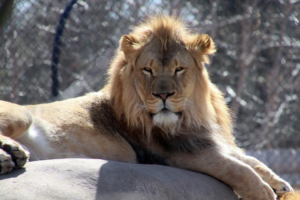 Lion by randy23