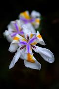 5th May 2020 - Iris in the rain