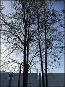 23rd Jan 2020 - Tree Silhouettes
